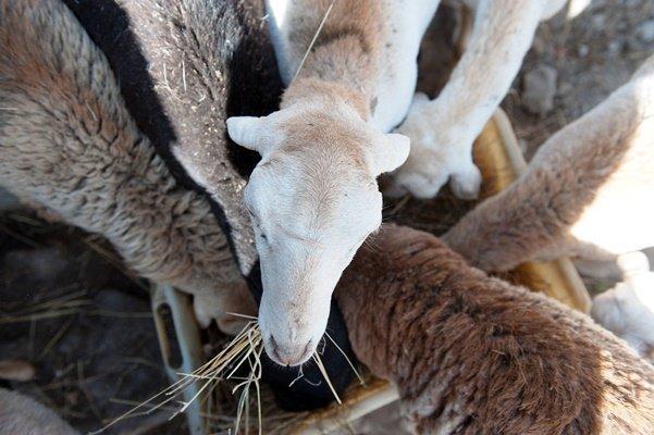 Frauenförderung - Schafe
