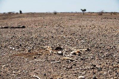 Knochenreste von verstorbenem Vieh