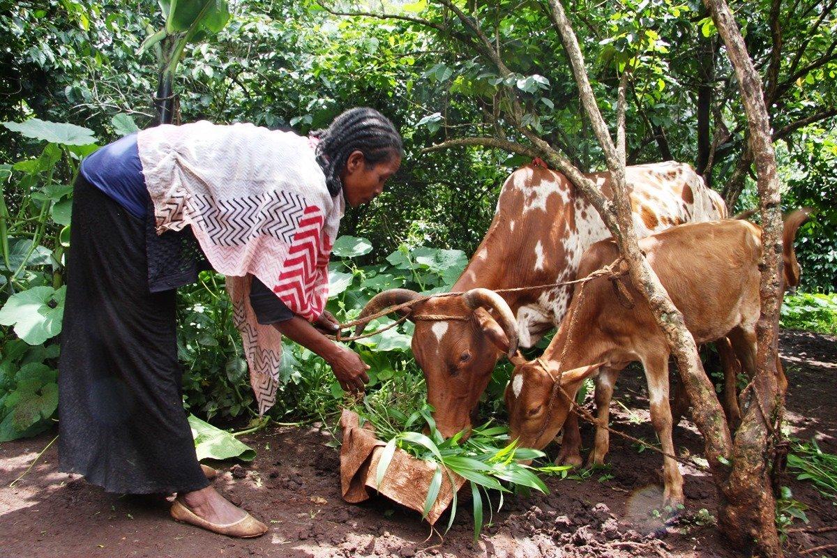 Fütterung von Ochsen | Menschen für Menschen