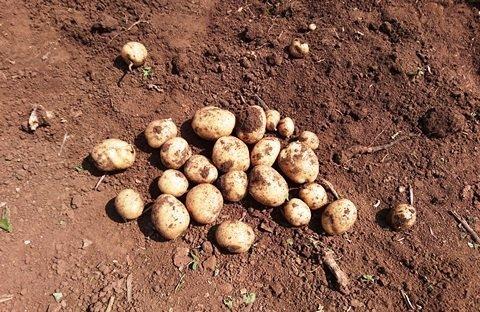 Kartoffel als Sattmacher