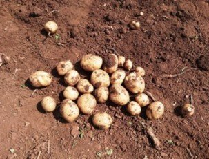 Ernährungssicherung durch Kartoffeln