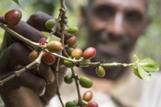 Fakten über Kaffee: Reife Kaffeekirschen