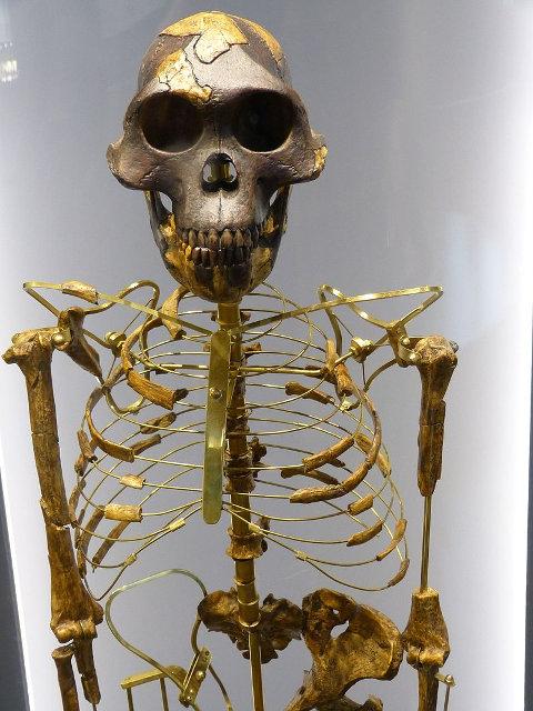 Skelett von Lucy