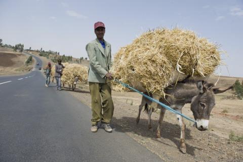 Esel in Äthiopien: Konvoi mi Gerstenstroh