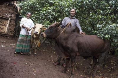 Bauer mit Ochsen