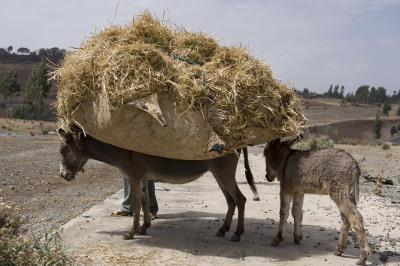 Bepackter Esel in Äthiopien