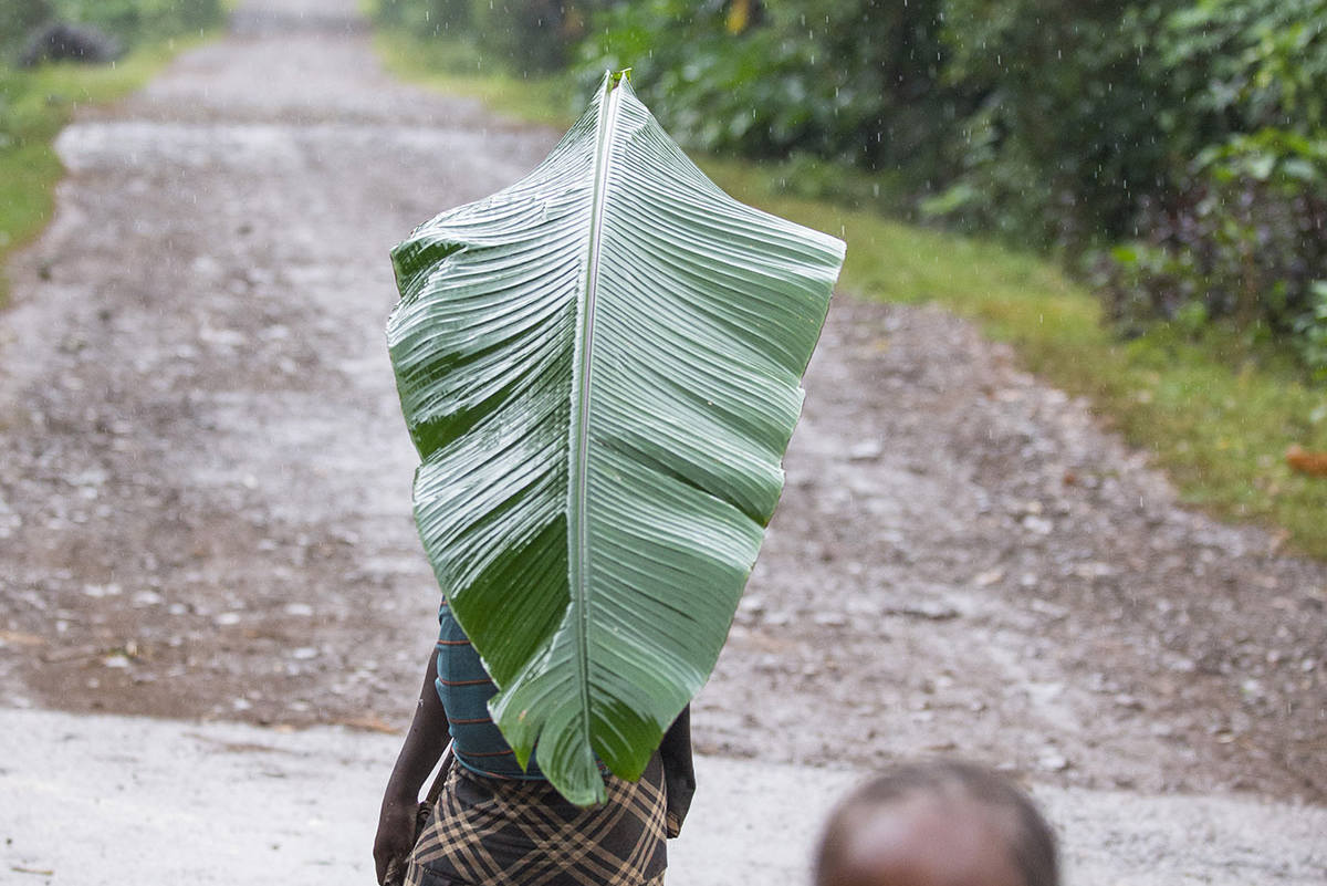 Bananenblatt als Regenschutz