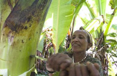 Falsche Banane: Ensete-Strauch | Stiftung Menschen für Menschen