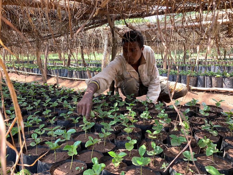 Kaaffeesträucher in Baumschule | Stiftung Menschen für Menschen