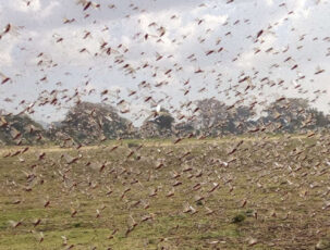 Heuschreckenplage in Äthiopien