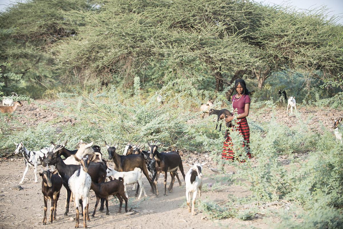 Hirtin der Afar treibt die Ziegenherde zusammen