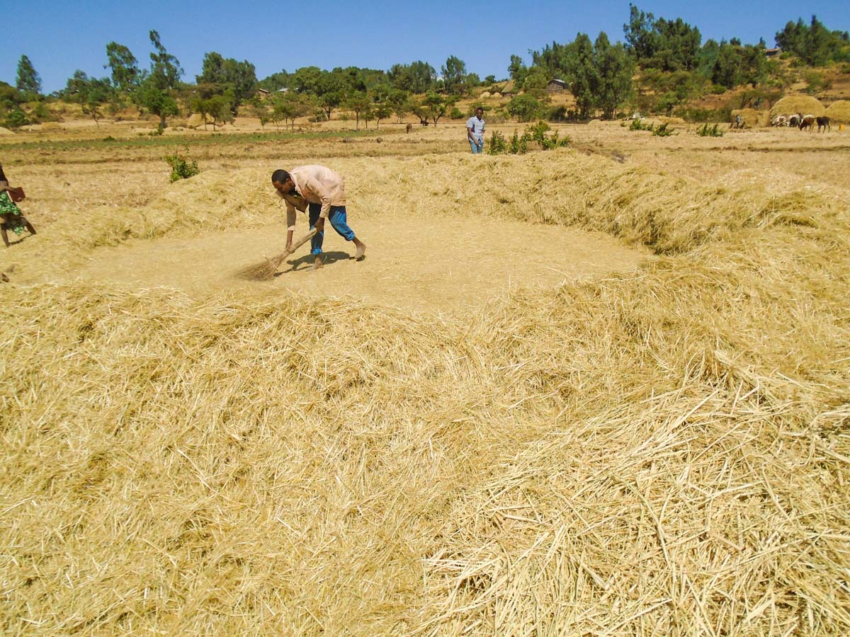 The tenn is being swept out. The threshed straw piles up on the edge