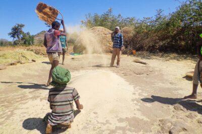 Bauern beim Dreschen von Teff