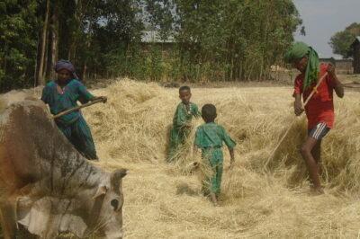 Die ganze Familie hilft bei der Teff-Ernte