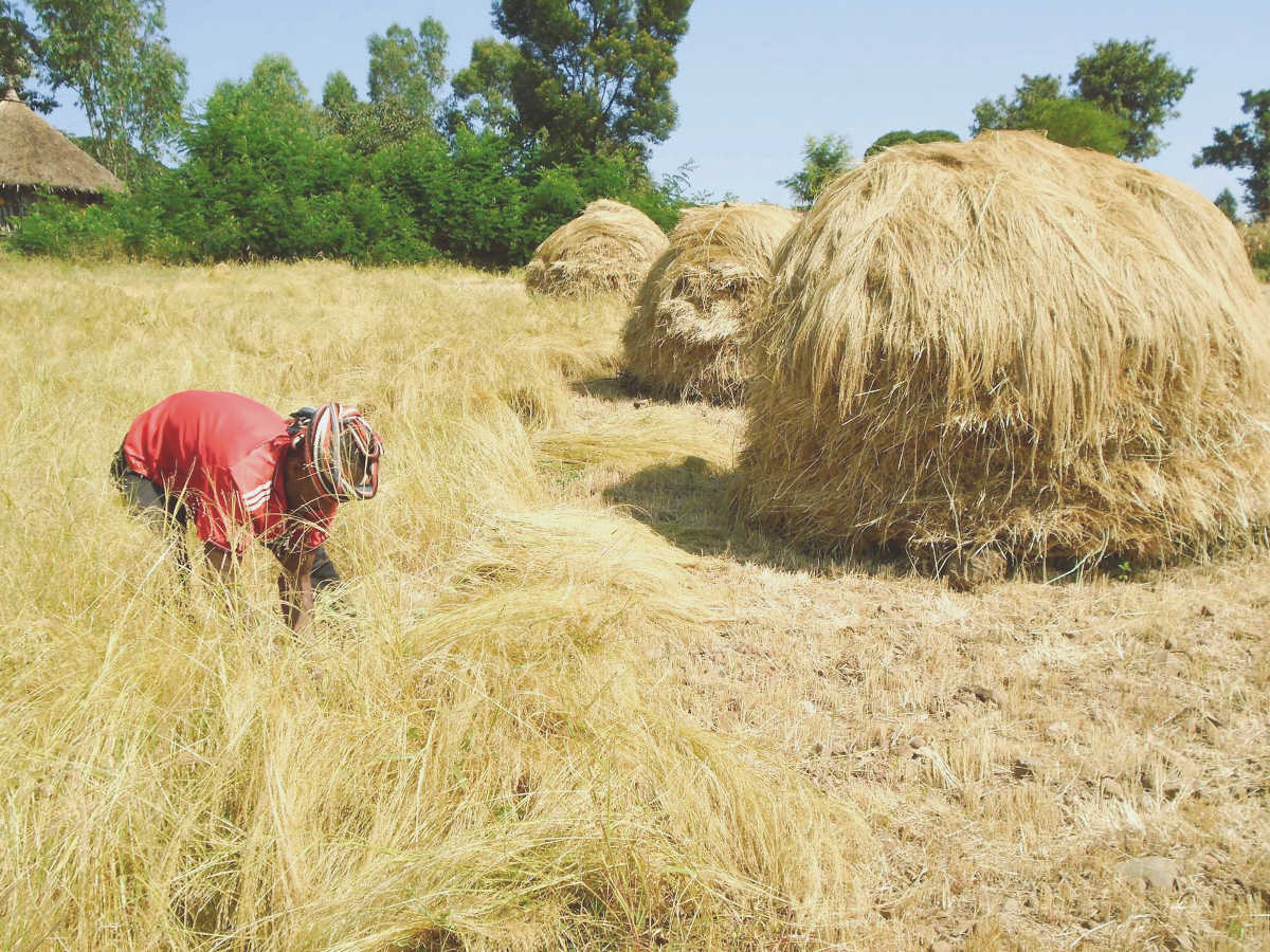 Teff harvest in Ethiopia: A heap of work