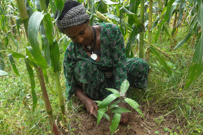 Frau pflanzt Baumsetzling