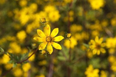 Meskel-Blumen
