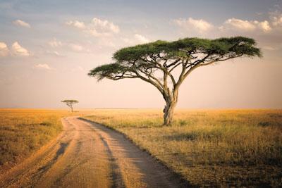 Schirmakazie in Äthiopien