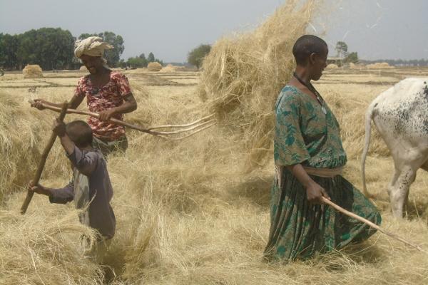 Bauern bei der Ernte von Teff